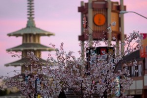 Cherry Blossom Festival_GEOS SF